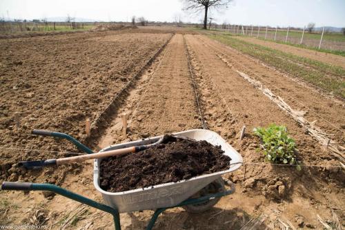 Compost în gropile pentru răsadurile de varza, conopidă, brocoli, kale, gulii
