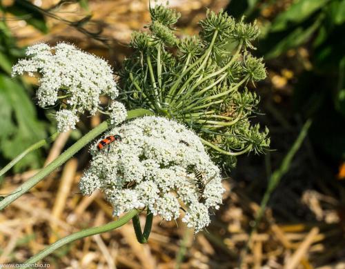 Insecte atrase de florile de morcov