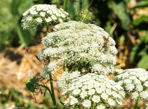 Florie de umbelifere atrag insecte benefice in gradina ecologica - viespi, muste Mylabris