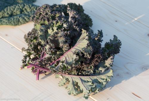 Kale Red Curled (1 of 1)