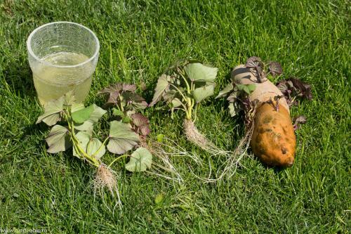 Lastari de cartofi dulci