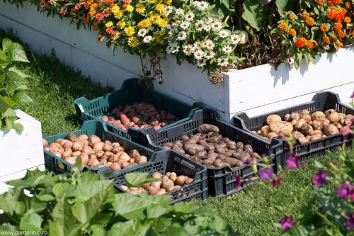 Recolta de cartofi diferite soiuri