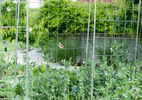 Ne bucuram in gradina ecologica de multe specii de pasari -  sfrânciocul roșiatic (Lanius collurio)