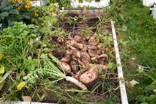 30 kg de cartofi dulci de pe un strat de 3,6 mp