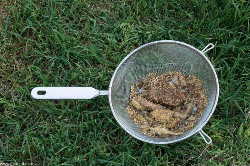 Pulpa de vinete pentru seminte