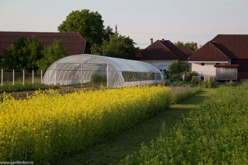Mustar - excelent ingrasamant verde pentru culturile viitoare