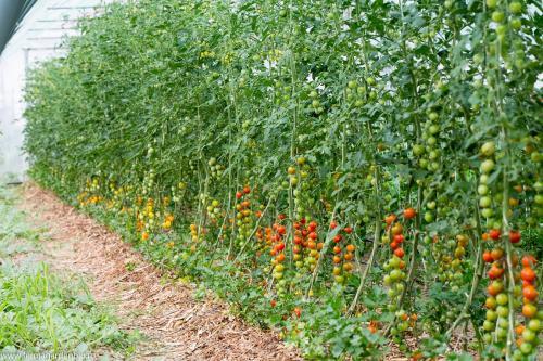 Mulcirea straturilor ajută la protejarea microorganismelor din sol. Roșii mulcite cu tocătură de crengi.