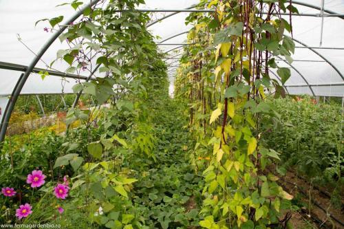 Straturi cu fasole păstăi și pepeni galbeni - fasolea fixează azot pentru dezvoltarea pepenilor