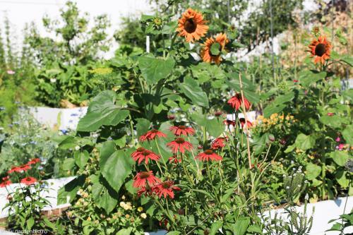 Echinacea si floarea soarelui