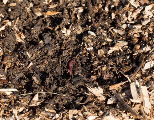 Mulciul din straturi sau de pe aleile dintre straturi se transformă în compost - râmele au un rol important în acest proces de descompunere