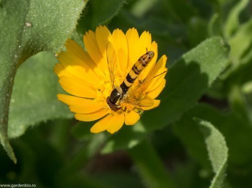 Musca florilor atrasa de  polen, dar se hraneste si cu afide.