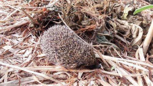 Ariciul a hibernat peste iarnă într-un solar. Este un ajutor de nădejde în grădina ecologică, se hrănește cu larve, viermi, limacși, rozătoare etc.